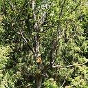 Einant taku galima iš arti apžiūrėti įvairių šilelyje augančių medžių viršūnes