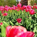 Ankstesnės Tulpių žydėjimo šventės akimirka