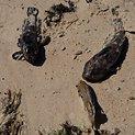 Pajūrį ties Karkle nuklojo žuvų gaišenos.