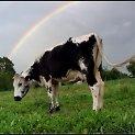 Karvių karvė