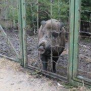 Šią savaitę nustatyti 9 afrikiniu kiaulių maru apsikrėtę šernai