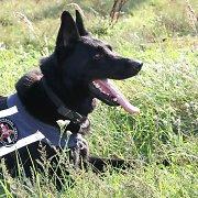 Policijos kinologė: tarnybiniai šunys į svetimų žmonių komandas reaguoja priešingai