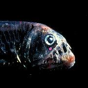 """Jūrų baisuokliai su """"lemputėmis"""": grobiui privilioti ir keliui pasišviesti"""