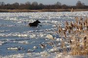 Lietuvos briedis pasienyje per lūžtantį ledą pabėgo ir nuo Rusijos pasieniečių, ir nuo rusų kulkų