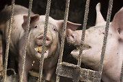 10 dalykų, kuriuos turi žinoti kiaulių savininkai