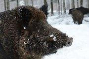 Per savaitę afrikinis kiaulių maras pripažintas vieno šerno gaišenai