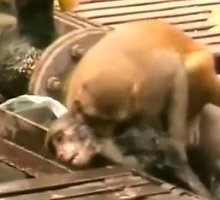 Beždžionė išgelbėjo sąmonės ant bėgių netekusią draugę