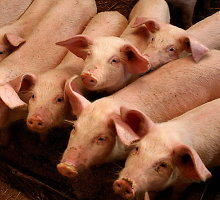 Iranas sunerimo dėl kiaulių maro Lietuvoje