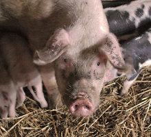 Jurbarko gyventojai neatsigina kiaulių komplekso smarvės, savininkas jaučiasi tapęs atpirkimo ožiu