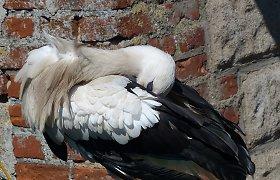 Ornitologai paaiškino keistą ir negailestingą baltojo gandro elgesį