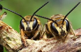 Mokslininkams nerimą kelia pasaulyje sparčiai mirštančios bičių kolonijos