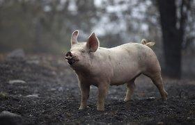 Sąžiningi kiaulių augintojai gali tikėtis pinigų