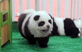 Kinijoje populiarėja į pandas panašūs šuniukai
