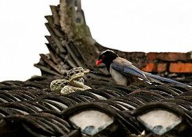 Šarkos ir gyvatės kova ant stogo Kinijos kaimelyje