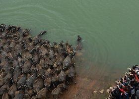 Galvijai kasdien plaukia per Dzialingo upę į joje esančią salą dėl geresnės žolės