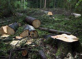 Belovežo girioje Lenkija atlieka kirtimo darbus