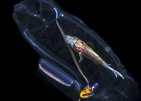 Wayne'as MacWilliamsas nufotografavo žuvį, gyvenančią medūzoje