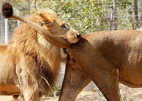 Iš cirko Pietų Amerikoje išlaisvinti liūtai buvo paleisti į rezervatą Afrikoje