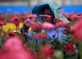 Kolumbijos gėlių augintojai ruošiasi artėjančiai Valentino dienai
