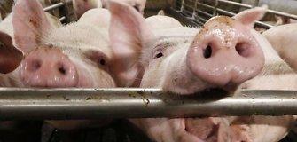 Vakarų kiaulieną Rusijoje pakeis kiniška, bet tik šaldyta