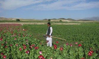 JAV pralaimi karą su opijaus gamyba Afganistane
