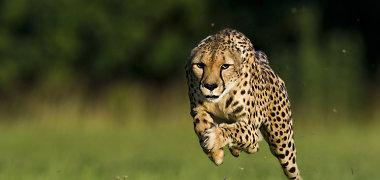 Sinsinačio zoologijos sode numarintas greičiausias gyvūnas pasaulyje