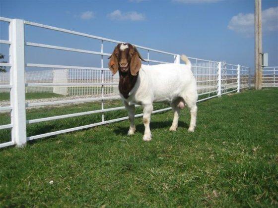 "Trifectaboergoats.com nuotr./""Boer"" veislės ožys"
