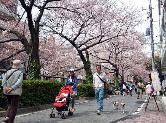 """""""Reuters""""/""""Scanpix"""" nuotr./Japoniškos vyšnios Tokijuje"""