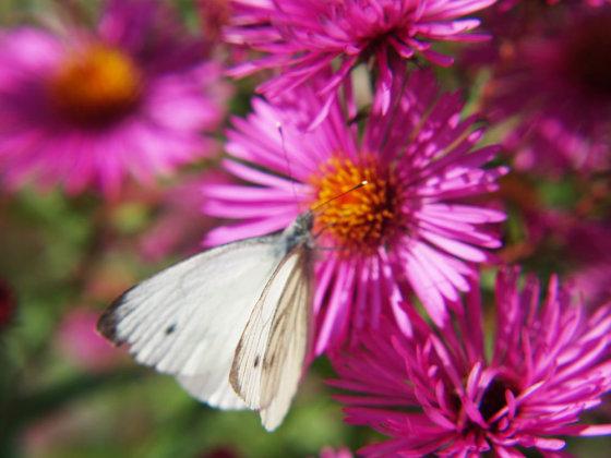 Shutterstock nuotr./Astrai ir drugelis