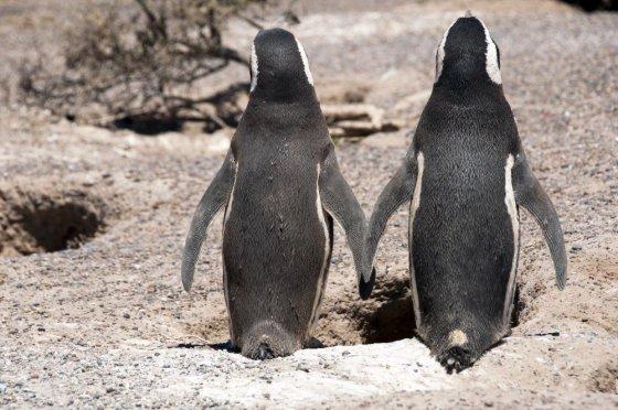 Fotolia nuotr./Pingvinai