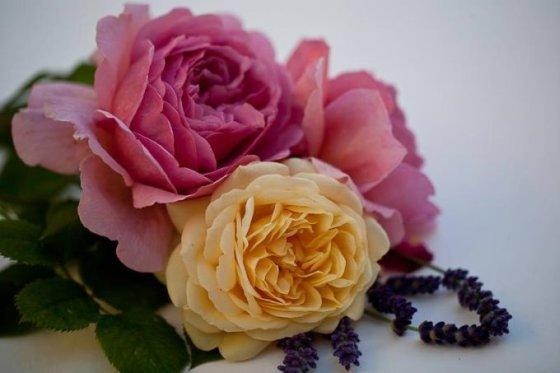 Nijolės Karpavičienės nuotr./Angliškos rožės