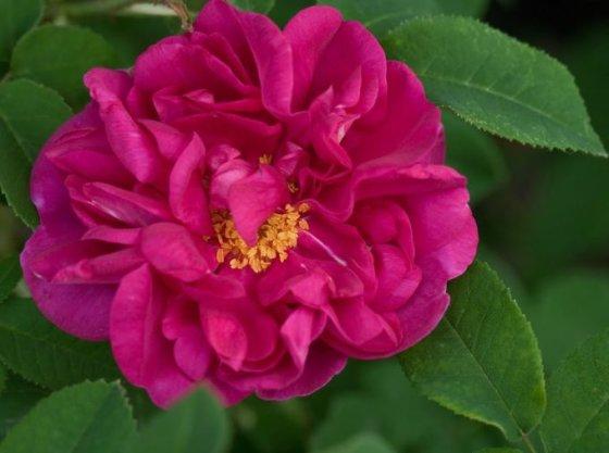 Nijolės Karpavičienės nuotr./\'Conditorum\' rožės