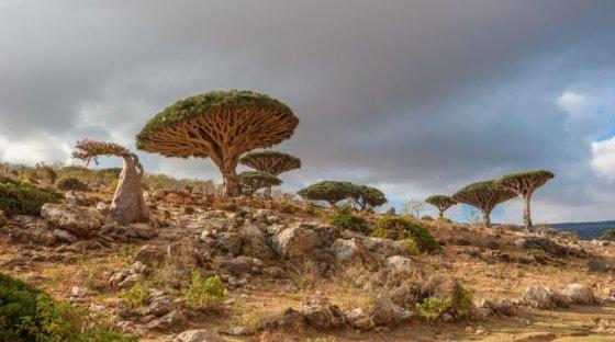 Fotolia nuotr./Siurrealistiniai medžiai, Jemenas