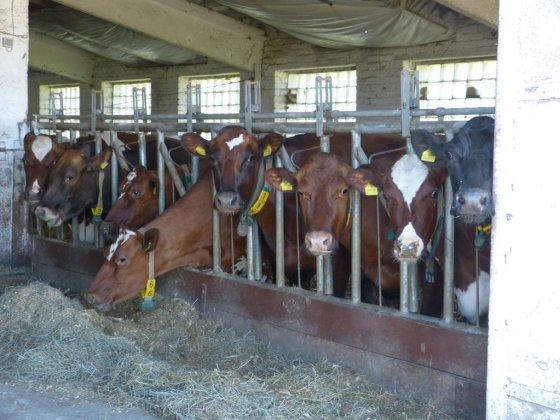 pienoukis.lt/Daviklis ant karvės kaklo stebi karvės judesį, klauso atrajojimą ir perduoda į kompiuterį.