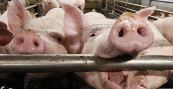 Anykščių rajone – trečias AKM protrūkis ūkyje, Lietuvoje rasti 53 užsikrėtę šernai