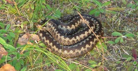 Vasarotojų tyko ir gyvatės