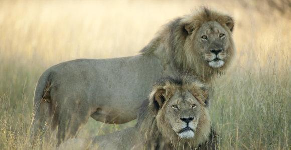 Liūto Cecilio brolis Jericho – gyvas ar miręs?