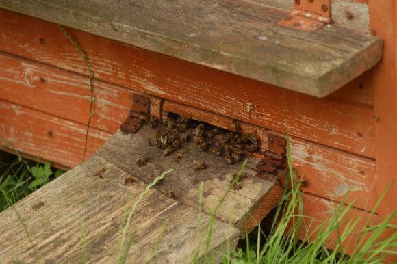 Juliaus Kalinsko/15min.lt nuotr./Darbštuolėmis tituluojamos bitės šį pavasarį sunešti medaus neskuba.