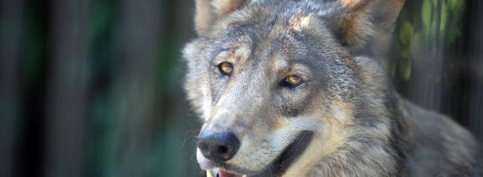 Selemonas Paltanavičius: daugelyje šalies regionų vilkų medžioklė jau baigta
